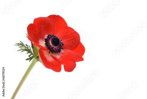 Rote Anemone Fototapeta