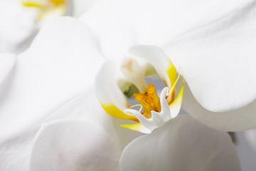 Fototapeta white orchid