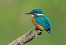 Kingfisher On A Branch 6