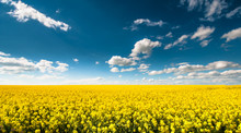 Empty Canola Field With Cloudy...