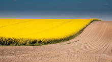 Canola Field With Blue Sky And Brown Ground