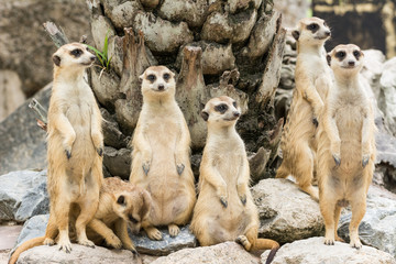 Meerkat or Suricate flock (Suricata suricatta)