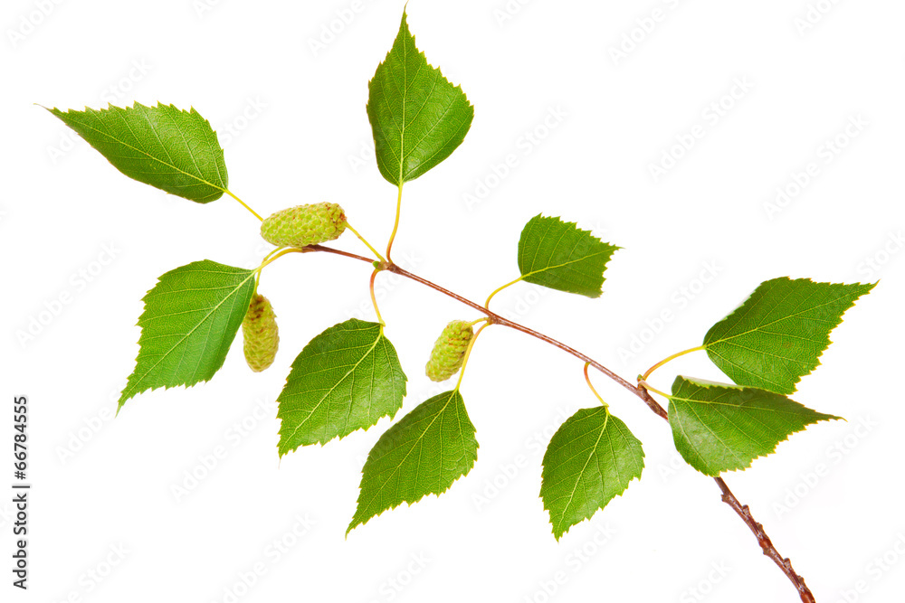 Birch tree leaves isolated on white.