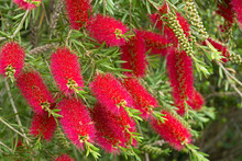 A Red Bottlebrush Bush (Callistemon)