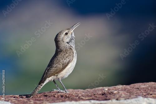Fotografie, Obraz  Singing Rock Wren