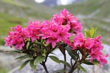 Alpenrose (Rhododendron Hirsut...