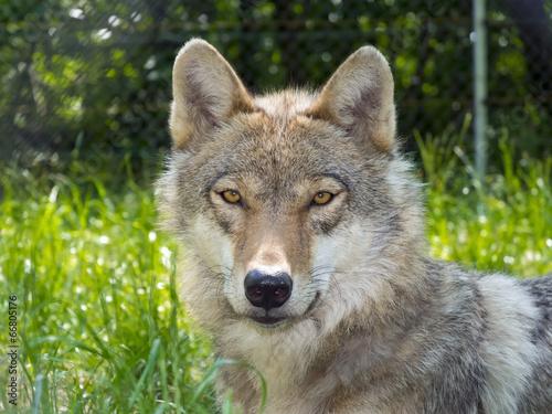 Papiers peints Loup European gray wolf (Canis lupus lupus)