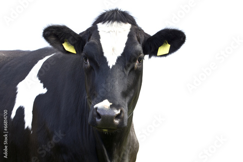 Photo Stands Cow Cow isolated