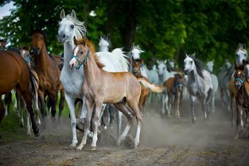 herd arabian horses