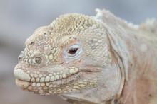 Wild Land Iguana On Santa Fe Island