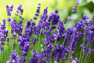Obraz na Szkle Do jadalni Lavendel