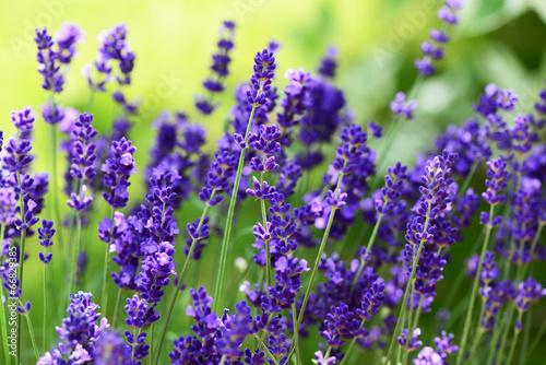 Foto op Aluminium Lavendel Lavendel