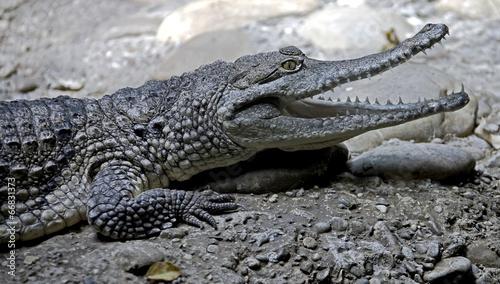 In de dag Krokodil Australian crocodile