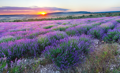 FototapetaMeadow of lavender.