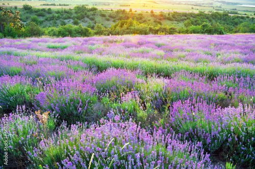 Fototapeta Meadow of lavender