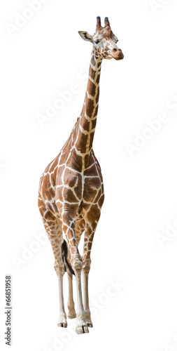 large giraffe isolated on white Poster