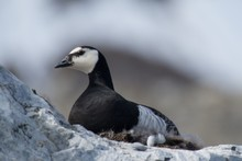 Close-up Of Barnacle Goose Nesting On Rock
