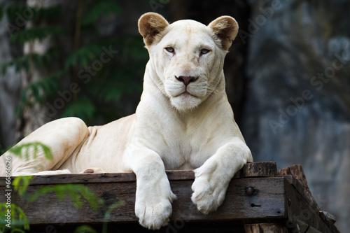 Photo Stands Panther White Tiger