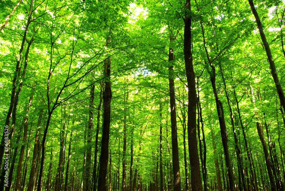Fototapety, obrazy:  forest