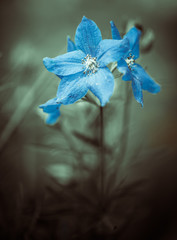 blue summer garden flower