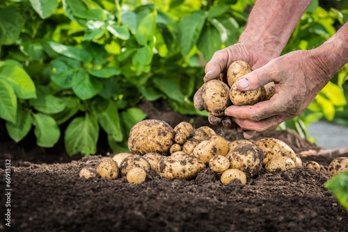 Hands harvesting fresh potatoes from soil Fototapete