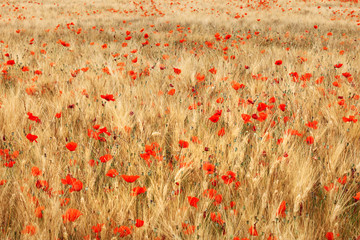 Fototapeta Vintage Golden wheat field with poppies