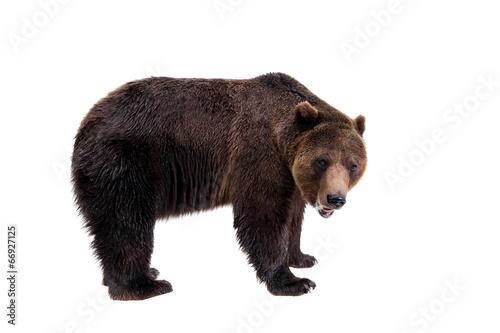 Fotografie, Tablou  Brown bear, Ursus arctos