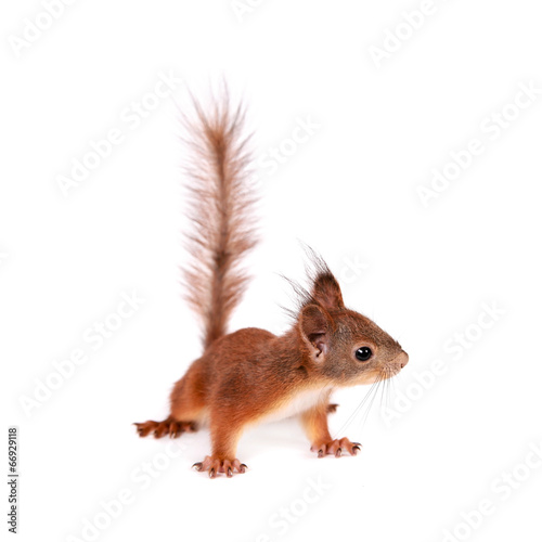 Foto op Canvas Eekhoorn Eurasian red Squirrel, Sciurus Vulgaris on white