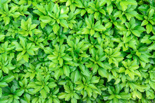 Close-up Of Pachysandra Terminalis - Green Nature Background, Te