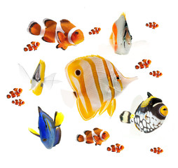 Panel Szklany Rafa koralowa summer tropical reef fish isolated on white background