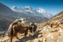 Yaks In Himalayas - Nepal