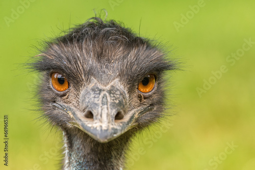 Photo sur Toile Autruche Portrait of Australian Emu (Dromaius novaehollandiae)