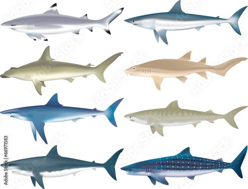 Fotografía Shark Species