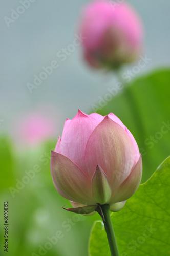 Printed kitchen splashbacks Khaki Lotus flower buds
