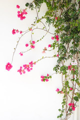 Panel Szklany Do Spa Bougainvillea flower red blossoms on a white wall