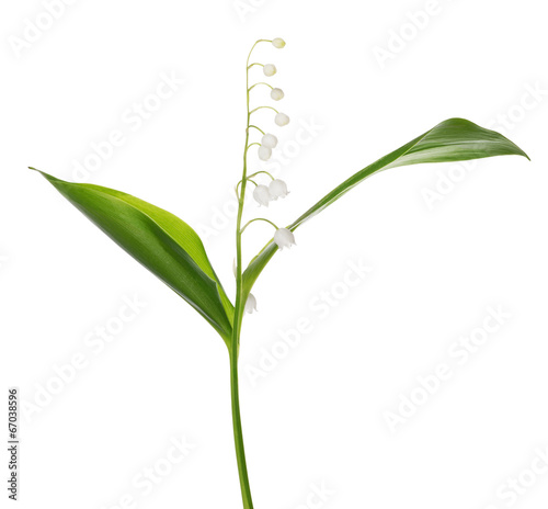 Poster Muguet de mai lily of the valley single flower isolated on white