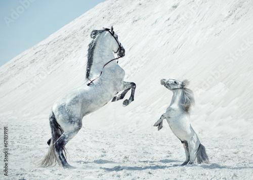 Obraz Wspaniała scena skaczących koni - fototapety do salonu