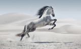 Fototapeta Konie - Picture presenting the galloping white horse