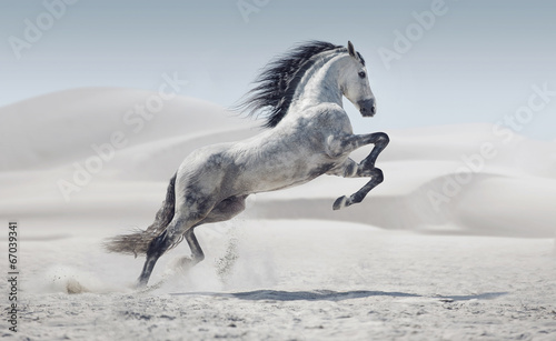 Foto op Aluminium Paarden Picture presenting the galloping white horse