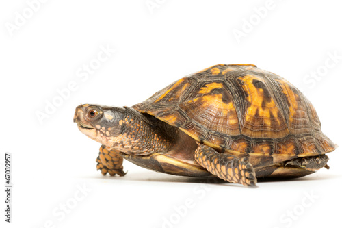 Poster Tortue Eastern box turtle