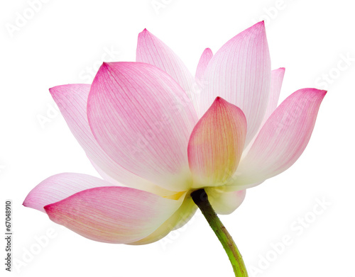In de dag Lotusbloem isolated lotus