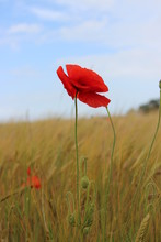 Red Poppy In Cornfield With Blue Sky