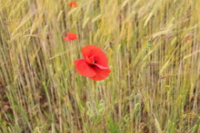 Red Poppy In Cornfield