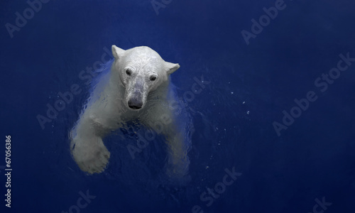 Photo Stands Polar bear Swimming polar bear, white bear in water