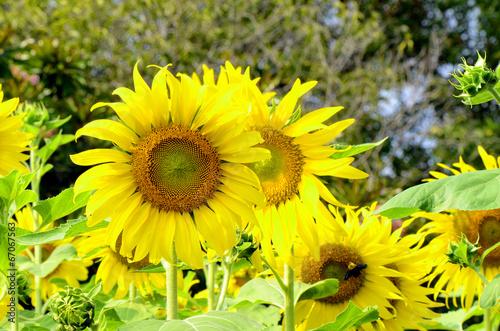 In de dag Zonnebloem Sunflowers in closed-up.