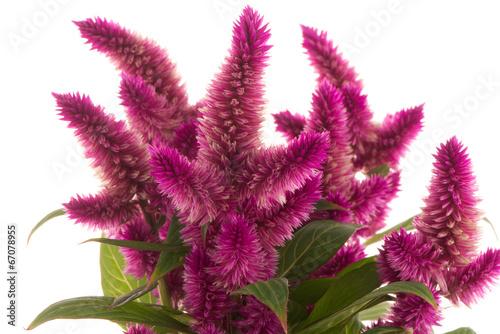 Valokuva  Cockscomb celosia spicata plant