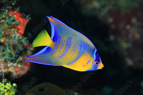 Juvenile Queen angelfish Wallpaper Mural