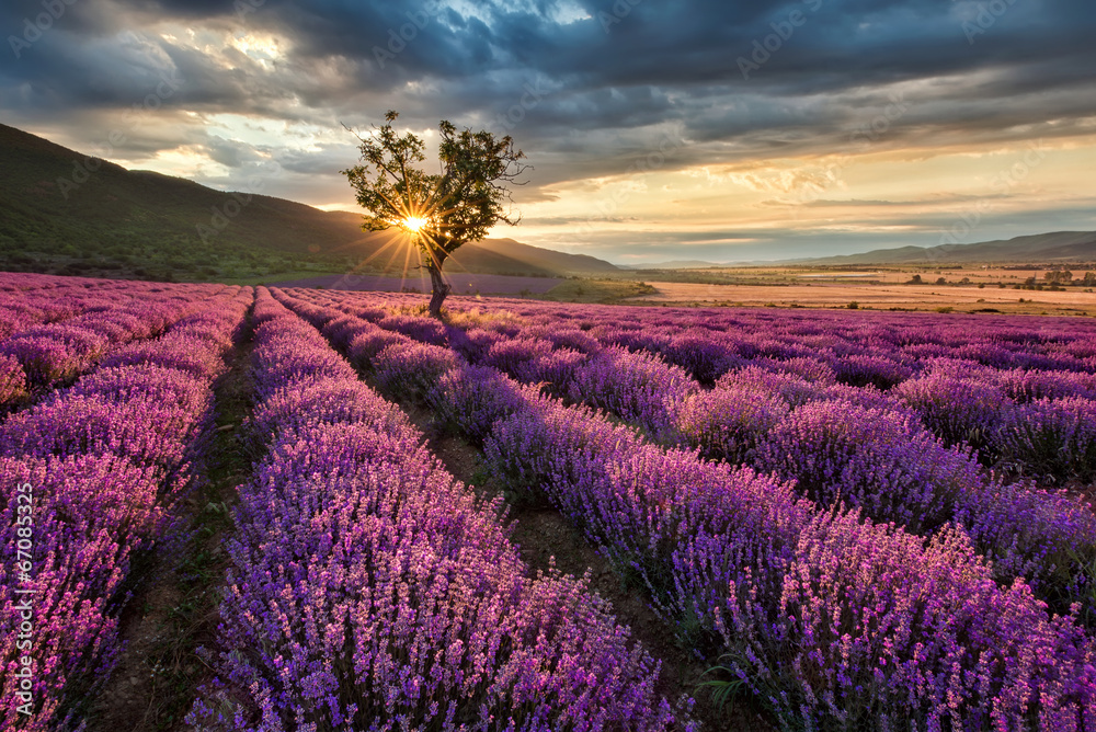 Fototapeta Stunning landscape with lavender field at sunrise