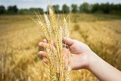 Fototapeta golden wheat in hand obraz