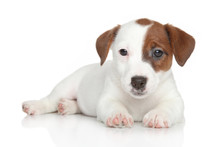 Jack Russell Puppy Lying